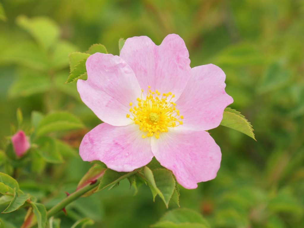 Wildrosen-Blüte