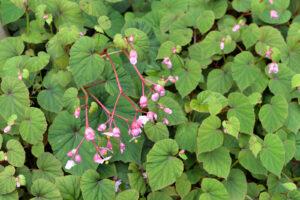 Japanisches Schiefblatt Mit Rosa Blüten