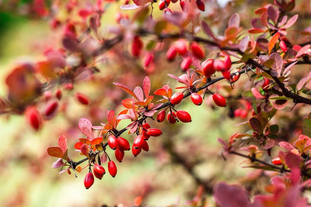 Zweig von der Berberitze mit Beeren