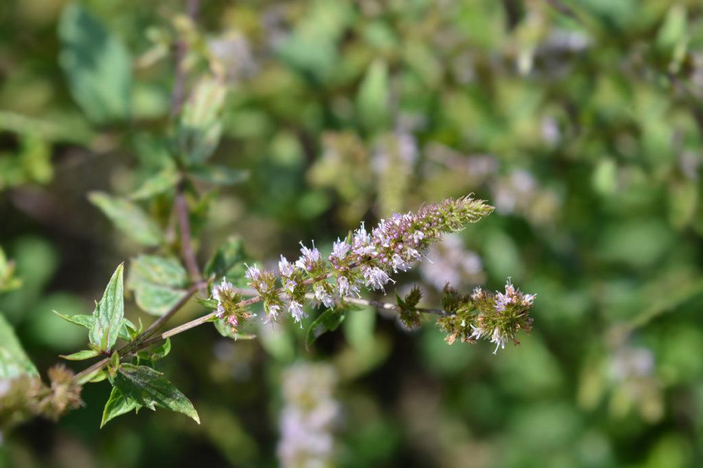 Zweig von der Pfefferminze mit Blüten