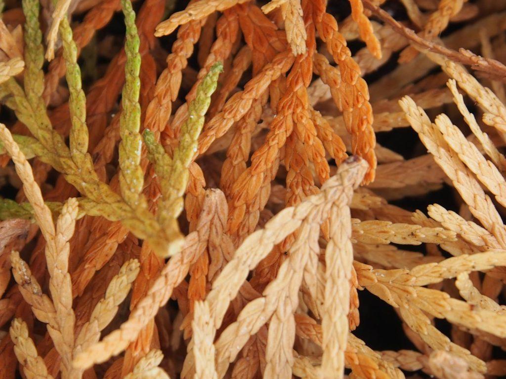 Braune Zypressen-Blätter