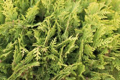 Zypressen düngen: Die richtige Düngung für intensives Grün