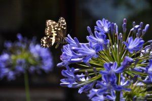 Agapanthus Mit Violetten Blüten Und Schmetterling