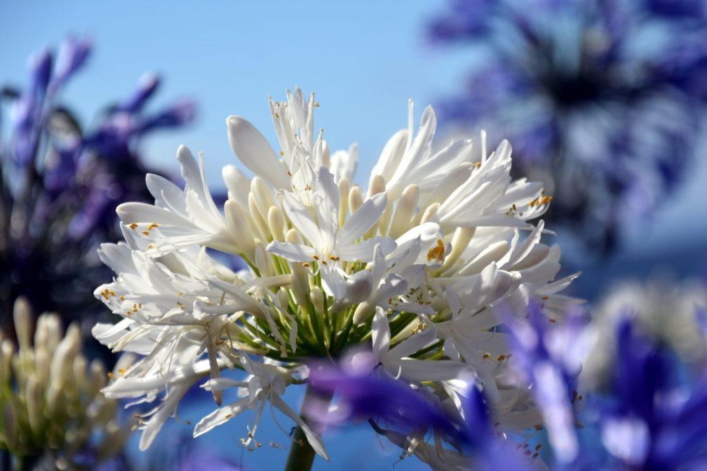 Agapanthus mit weißen Blüten