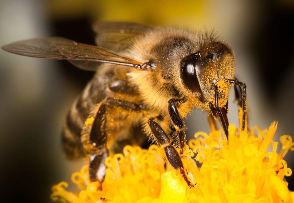 Biene mit Pollen am Haarkleid