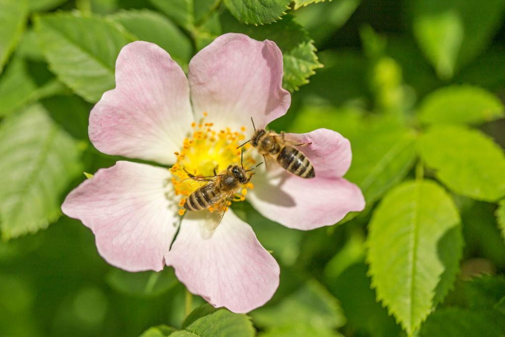 Zwei Bienen auf einer Wildrose