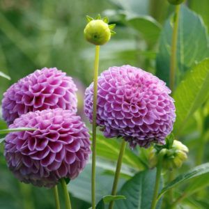 Dahlien Mit Pinken Blüten
