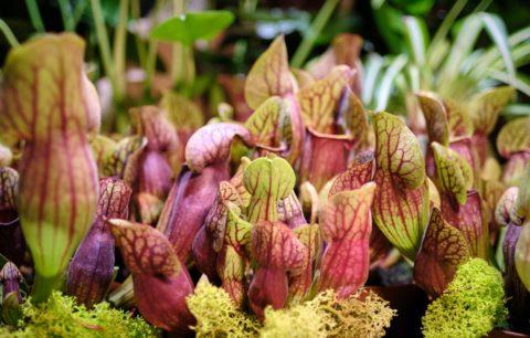 Kann man fleischfressende Pflanzen im Garten halten?