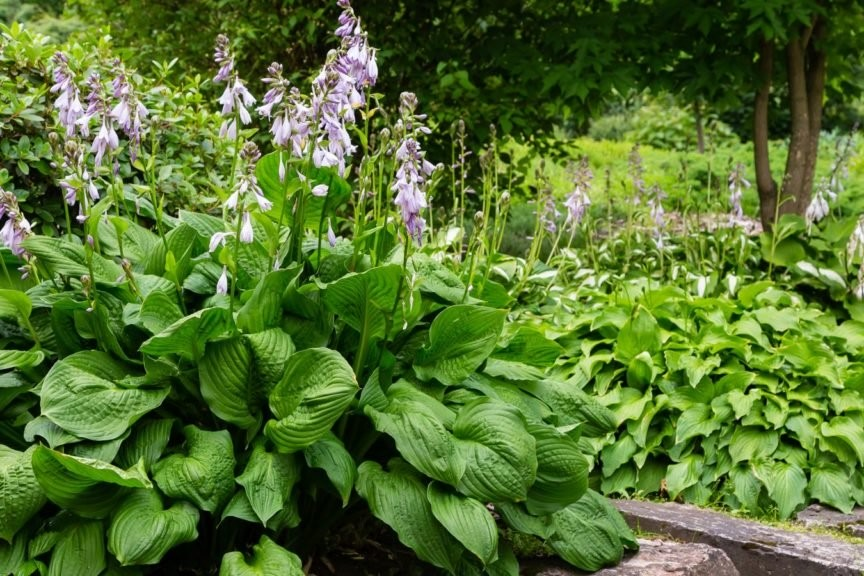 Blühende Funkien in einem Garten