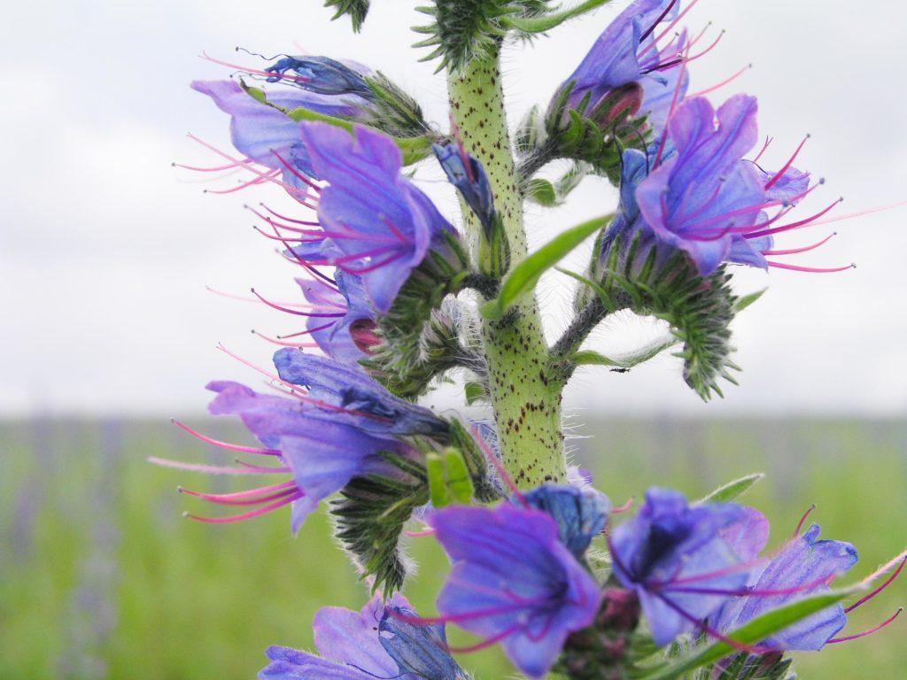Blüten des gewöhnlichen Natternkopfes