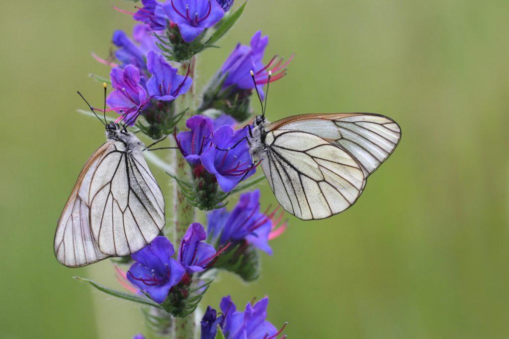 Schmetterlinge an Blüten des Natternkopfs