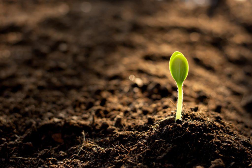 Keimling wächst aus der Erde