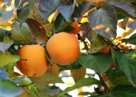 Kakibaum Mit Früchten