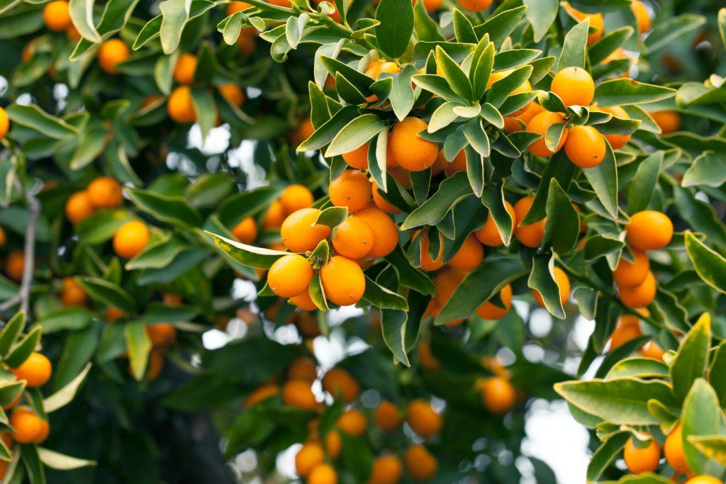 Kumquat-Baum mit orangenen Früchten