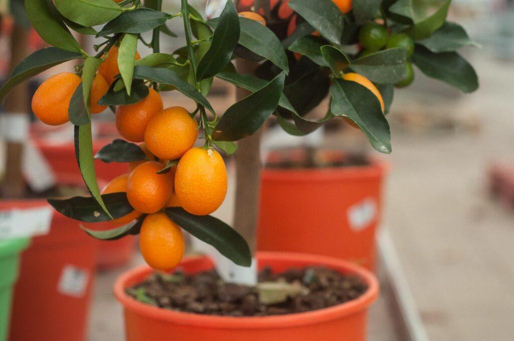 Kumquat-bäumchen in einem Blumentopf