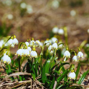 Blühende Märzenbecher
