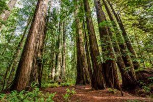 Schnellwachsende Mammutbäume