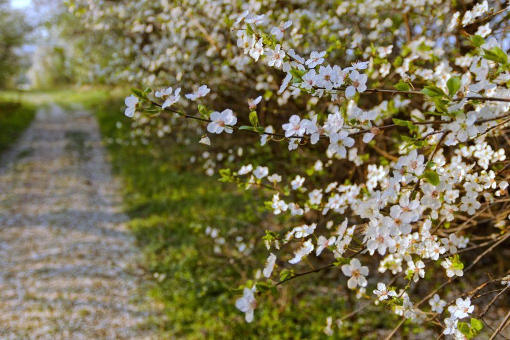 Blühender Mirabellenbaum
