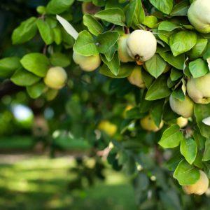 Quittenbaum Mit Grün-gelben Früchten