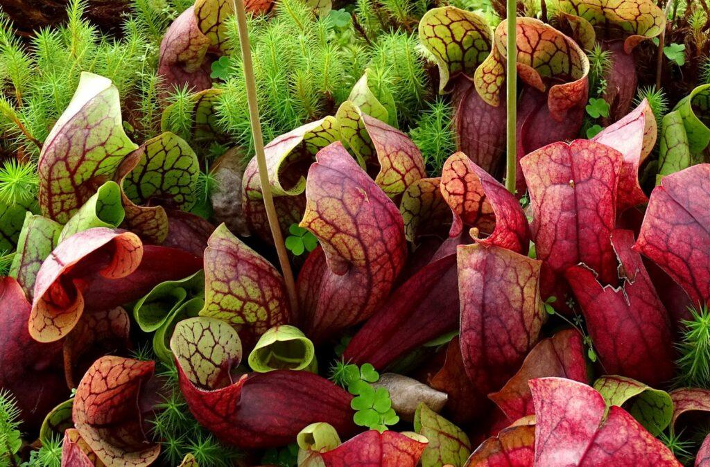 Rote Schlauchpflanze im Garten