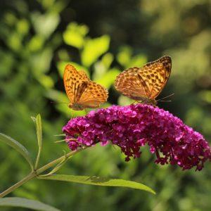 Sommerflieder Mit Blüte Und Schmetterlingen