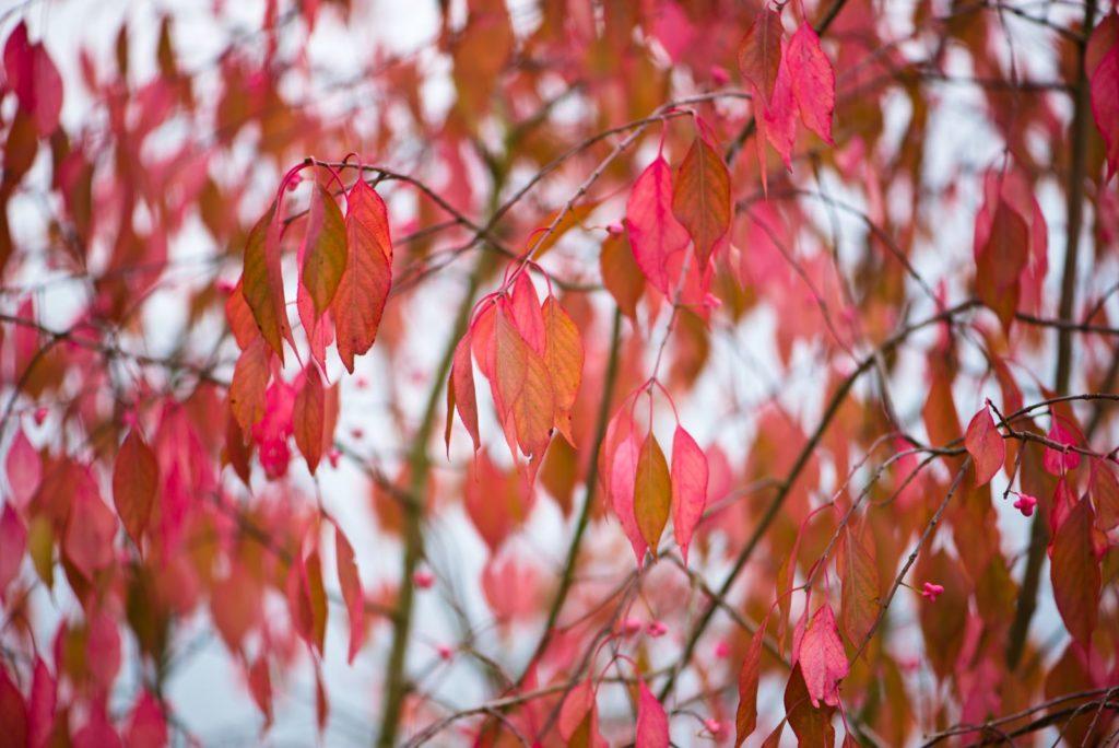 Spindelstrauch mit roten Blättern