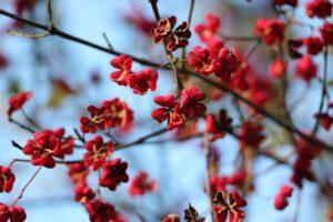 Spindelstrauch Mit Roten Blüten