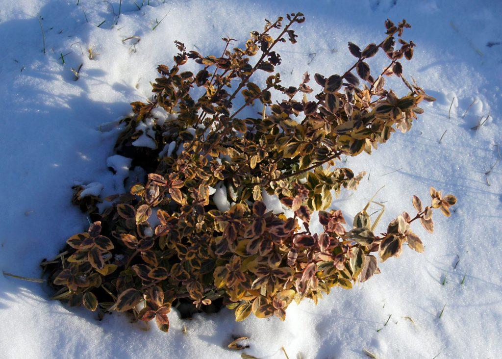 Spindelstrauch im Schnee