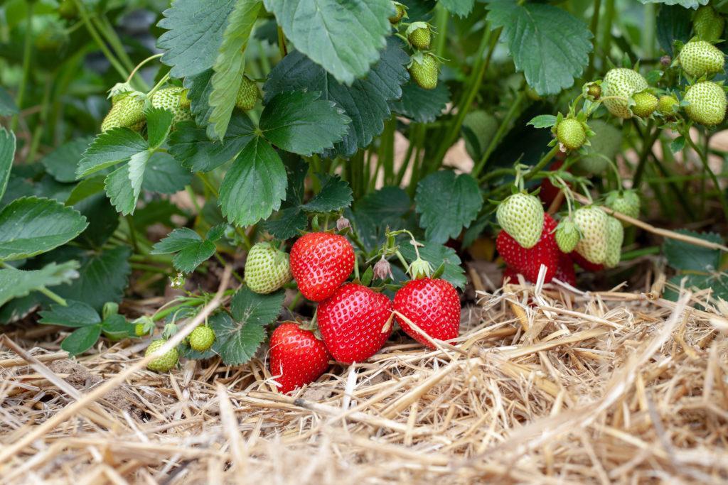 Erdbeeren auf Stroh