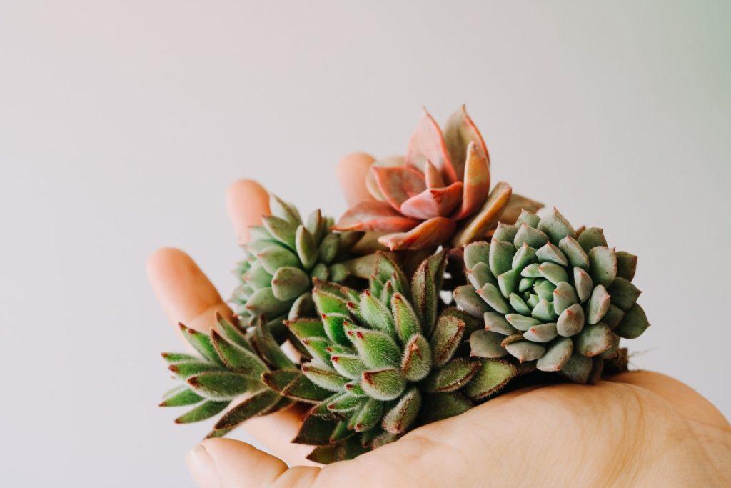 Sukkulenten werden in der Hand gehalten