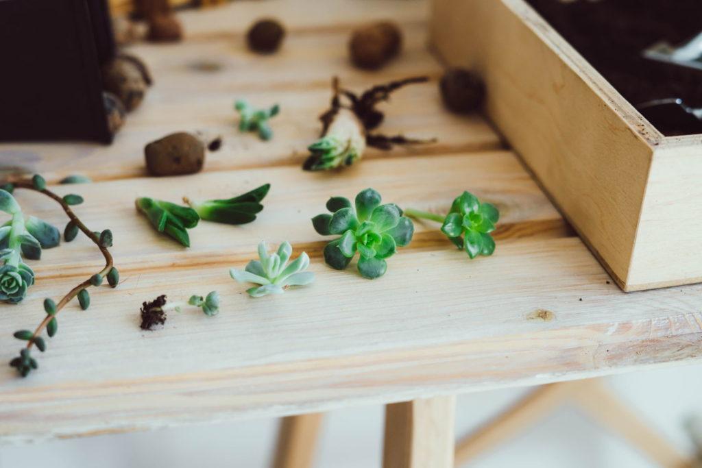 Kleine Sukkulenten auf einem Tisch