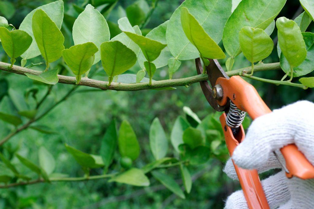 Bei einem Zitronenbaum wird ein Ast geschnitten