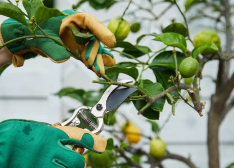 Zitronenbaum Wird Geschnitten