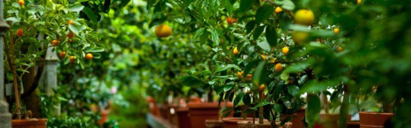 Zitronenbäume In Töpfen Stehen In Einer Reihe