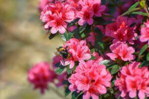 Eine Biene Sitzt Auf Pinken Azaleen-Blüten