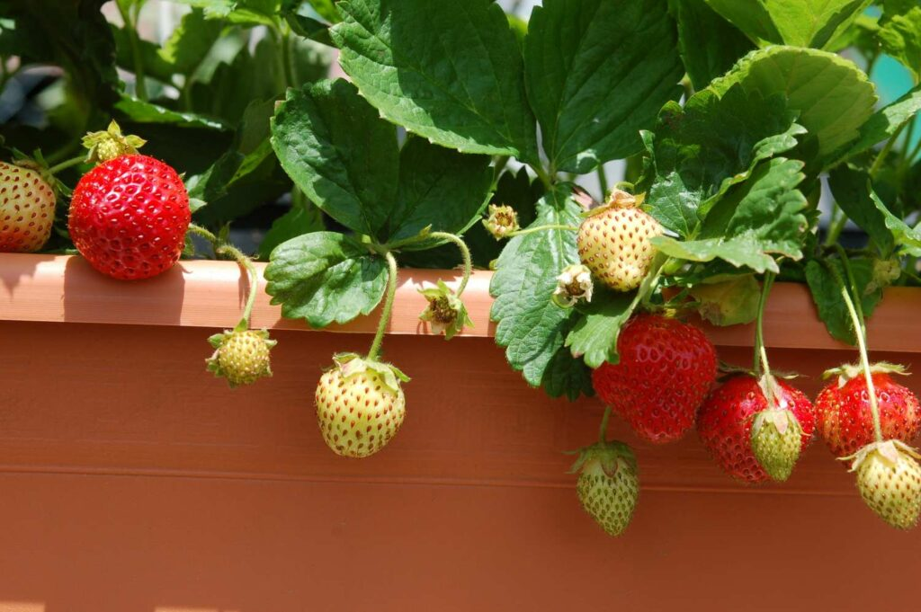 Reife Balkon-Erdbeeren