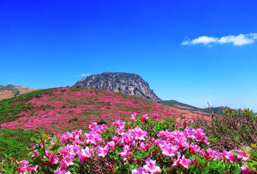 Rosa Azaleen blühen zu Fuße eines Berges in Südkorea