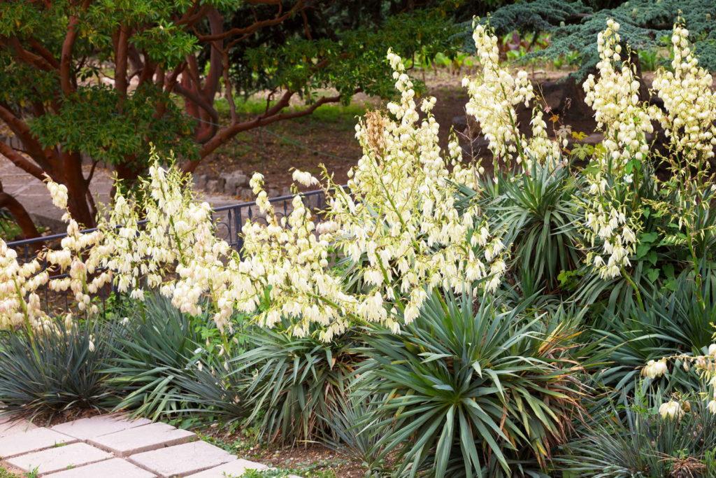 Garten-Yucca mit weißen Blüten