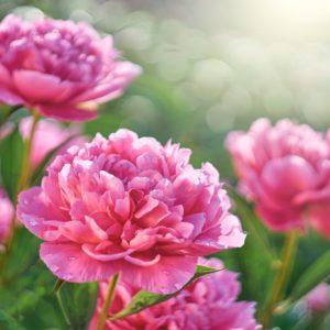 Pfingstrosen Mit Pinken Blüten