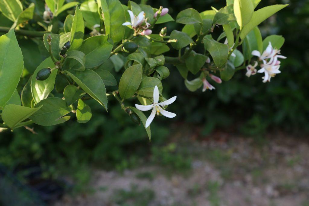 Zitronenbaum mit Blüten und heranreifenden Früchten
