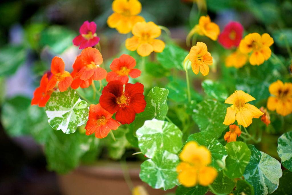 Blüten im Topf im Garten