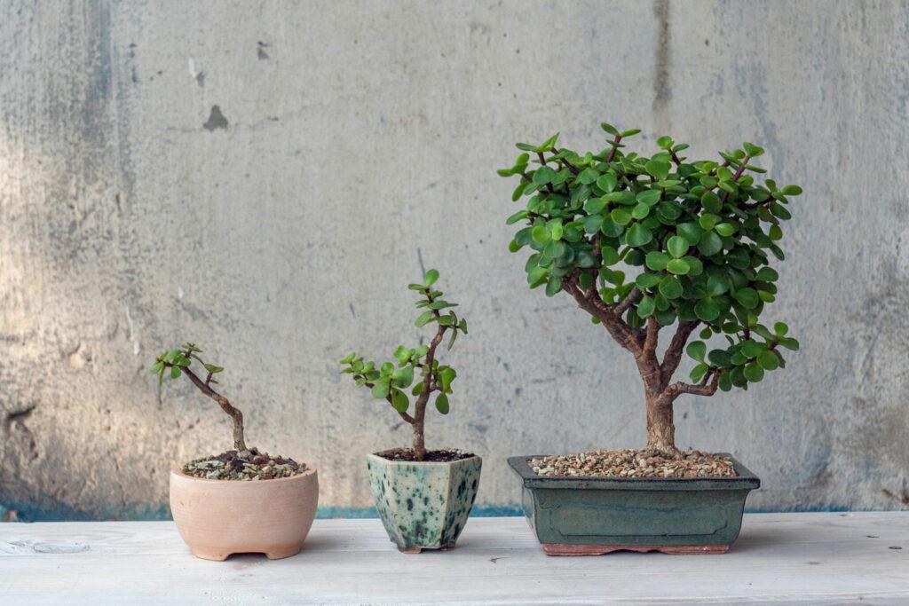 Bonsai-Bäume in verschiedenen Größen