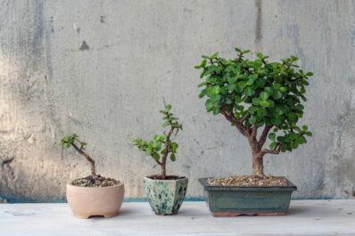 Bonsai umtopfen: Zeitpunkt & Vorgehen (mit Video-Anleitung)