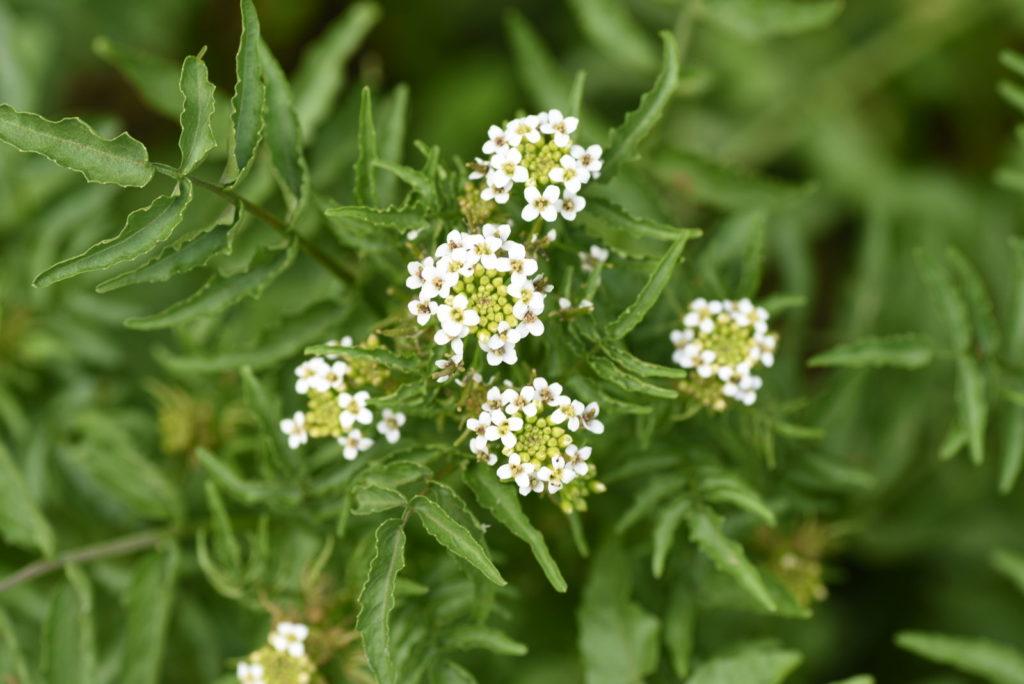 Weiße Blüten der Brunnenkresse