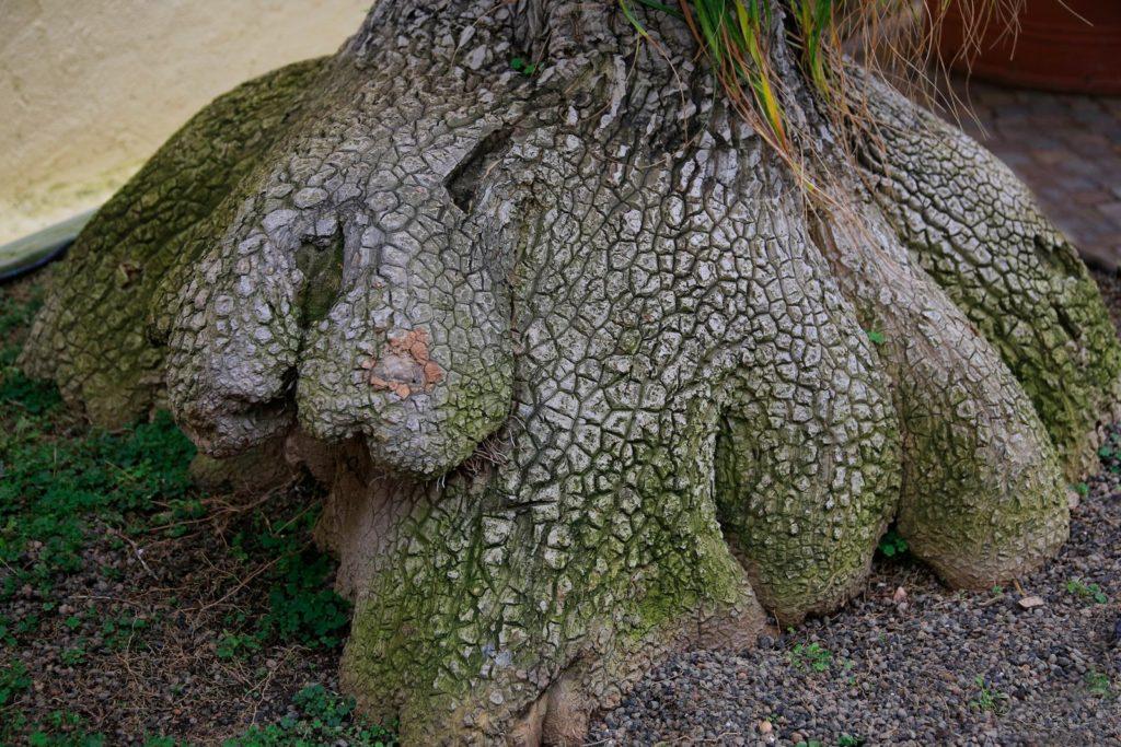 Dicker Stamm des Elefantenfußbaums