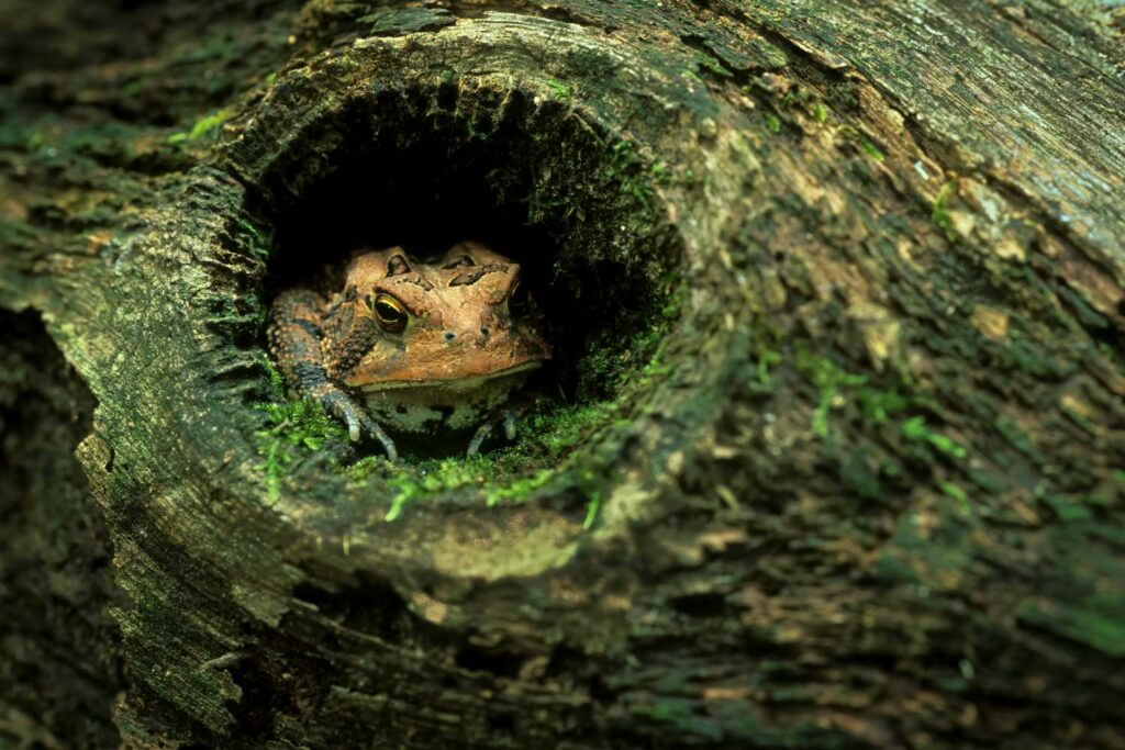 Erdkröte im Versteck