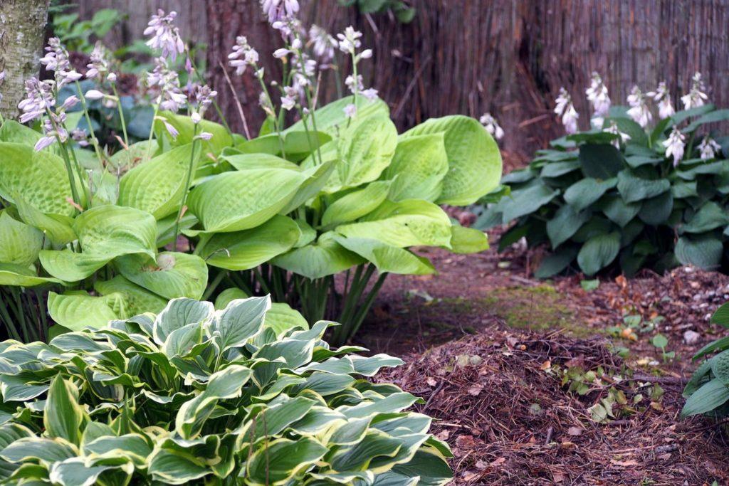 Blühende Funkien im Garten