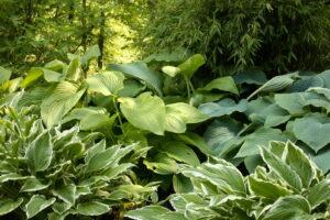 Funkien Zwischen Größeren Pflanzen