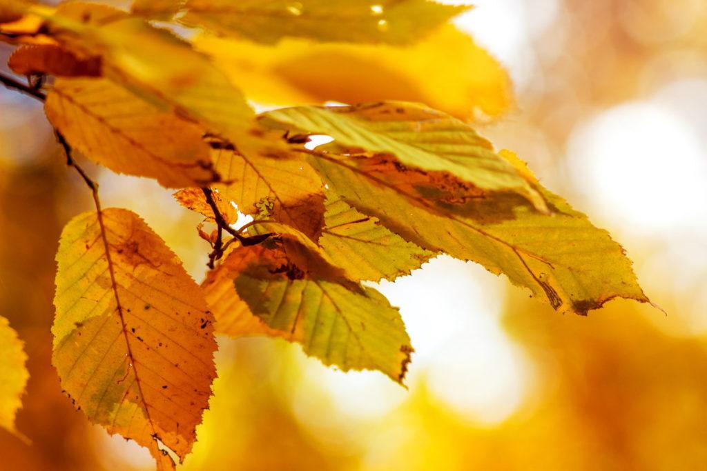 Gelbe Hainbuchenblätter im Herbst