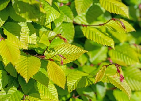 Grüne Blätter Der Hainbuchenhecke